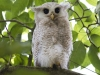 Juvenile Barred Eagle Owl