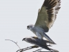 Pair of Black Shouldered Kite