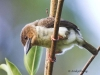 Brown Broadbill