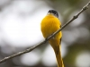 Female Grey-chinned Minivet