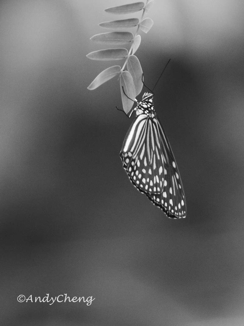 butterfly-wmarked