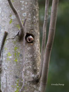 lineated barbet chick wm for web